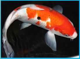 Koi carp for sale in the uk koi carp fish sale for Koi carp fish care